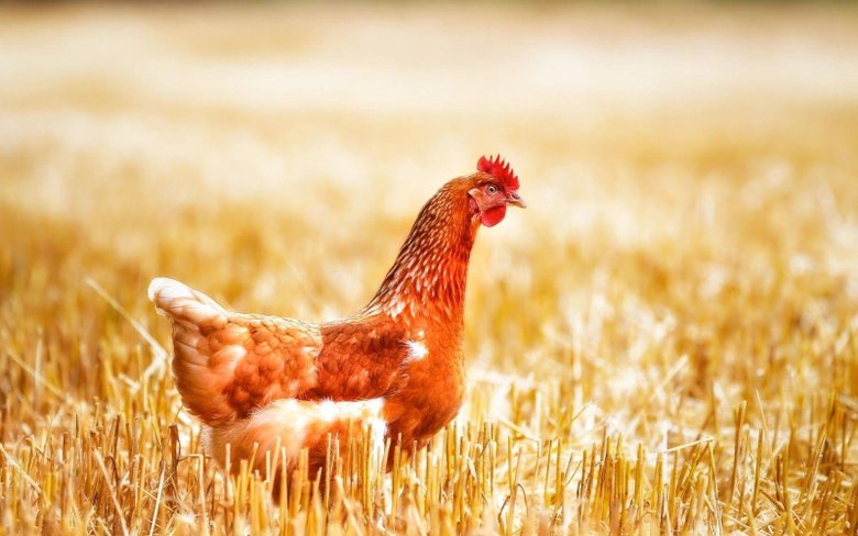 Chicken Bird Image and Image Desktop Backgrounds HD Wallpapers