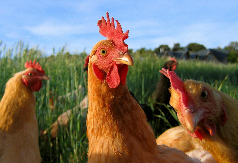 x1100px Chicken Rooster Hen Wallpapers