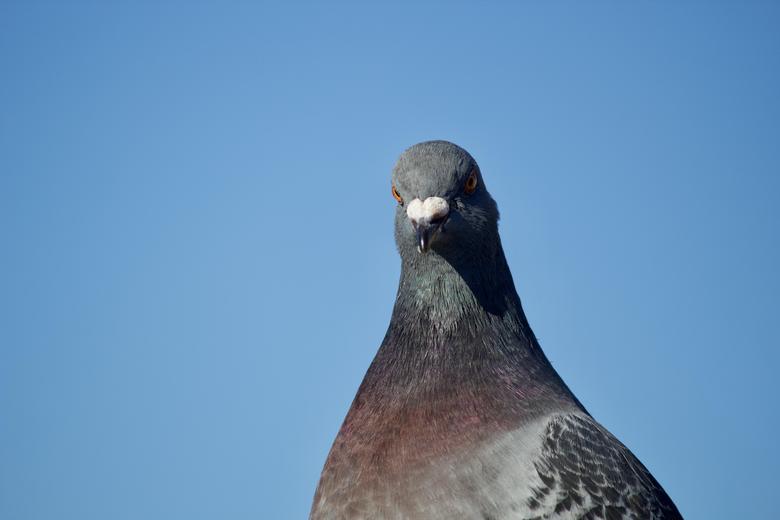 Columbidae pigeon close