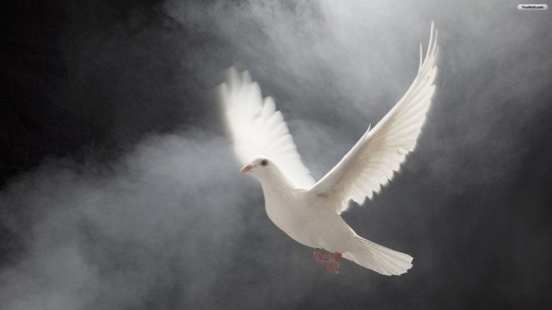 Animals Birds White Dove wallpapers