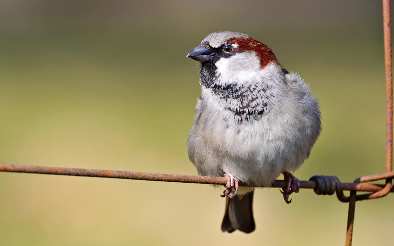 House Sparrow HD wallpapers