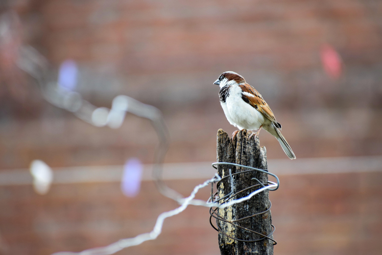 House Sparrow Pictures
