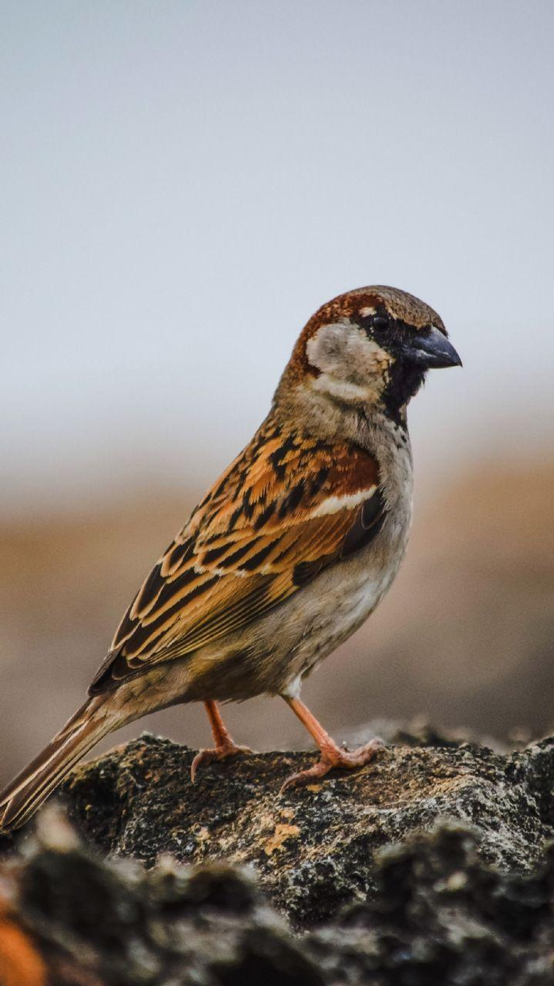 Sparrow bird cute 720x1280 wallpapers
