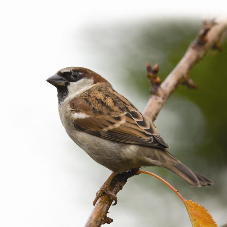 Animals Sparrow 1166x1165px 100 Quality HD Wallpapers