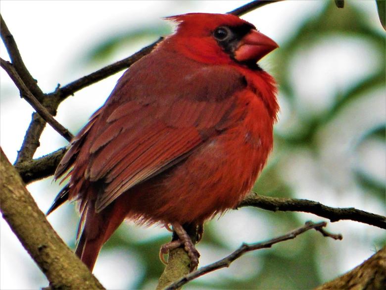 Geotripper s California Birds A Northern Cardinal in Hawai i The