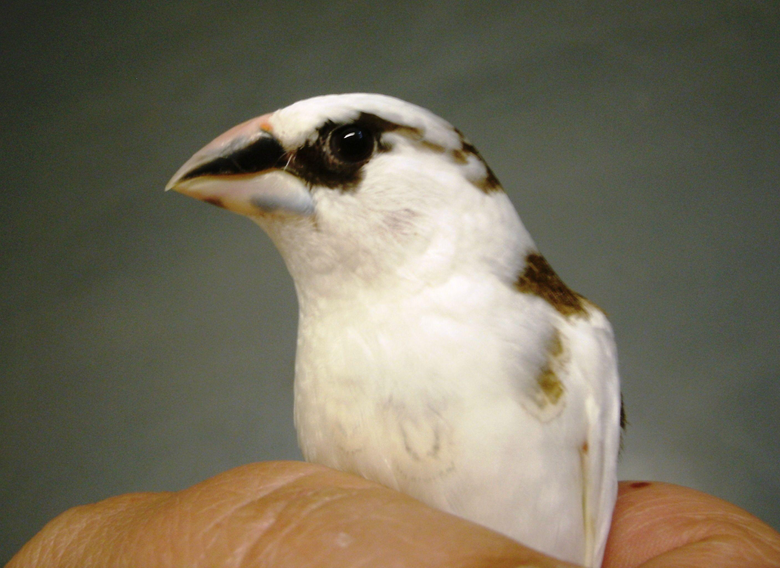 Chocolate white pied American Society finch