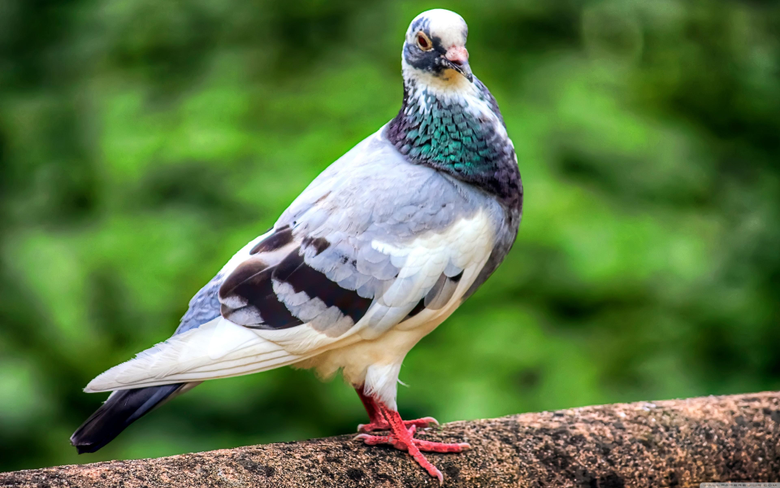 Pigeon Bird 4K HD Desktop Wallpapers for 4K Ultra HD TV Tablet