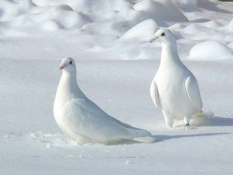 Pictures of Two White Pigeons Wallpapers
