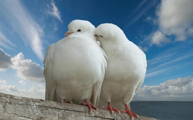 Pigeon Wallpapers 23