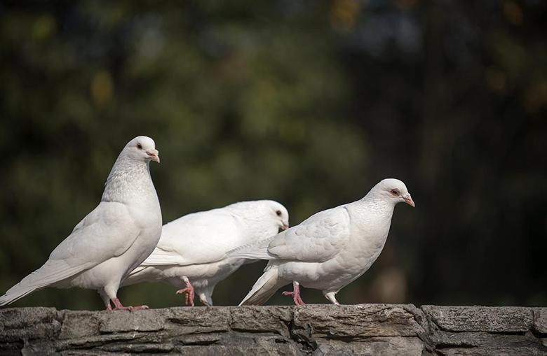 Wallpapers Birds Pigeons White Three 3 Animals