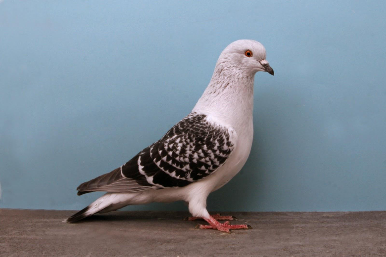 Homing Pigeon Wallpapers