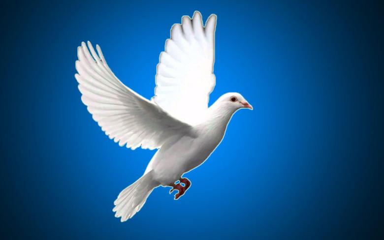 White pigeon bird wallpapers