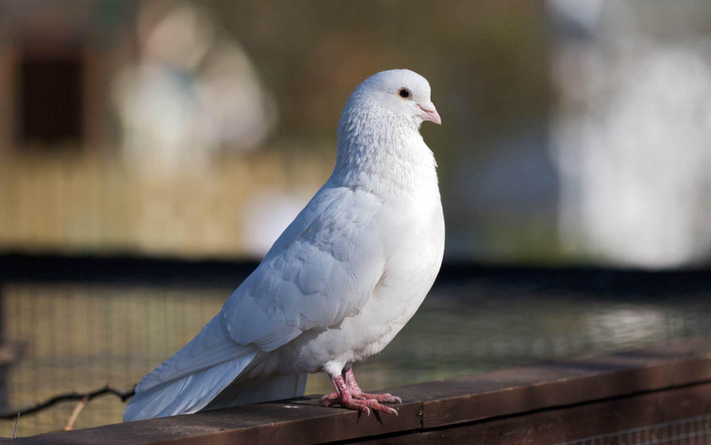 Pigeon Birds High Quality Hd Wallpapers Of Pigeon
