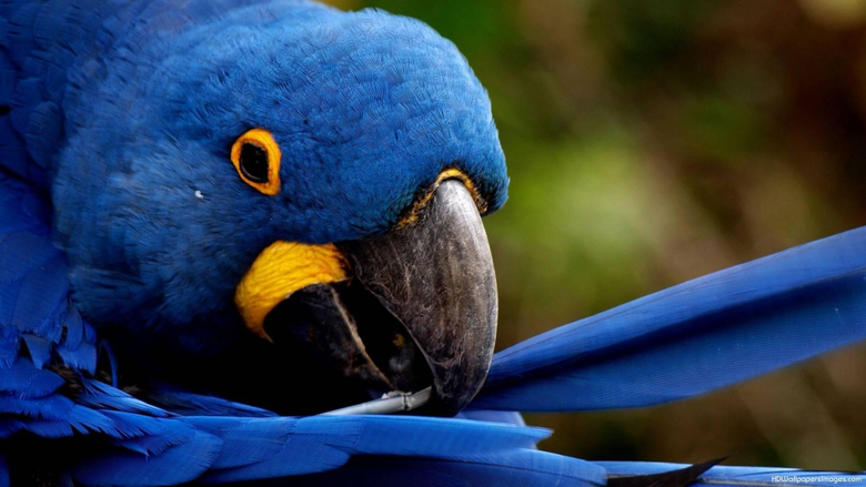Blue Parrot Wallpapers 2