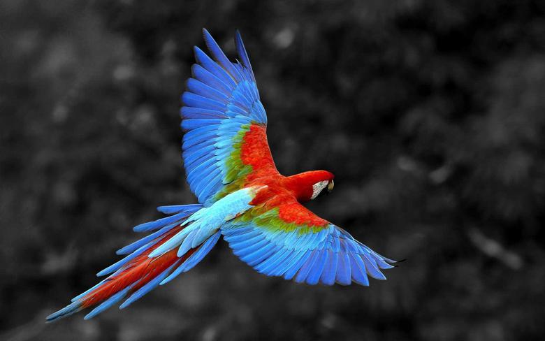 Scarlet Macaw Bird HD Birds 4k Wallpapers Image Backgrounds