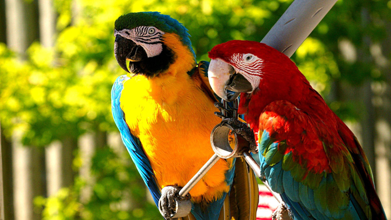 Macaw HD Wallpapers
