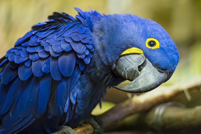 Hyacinth Macaw HD Wallpapers
