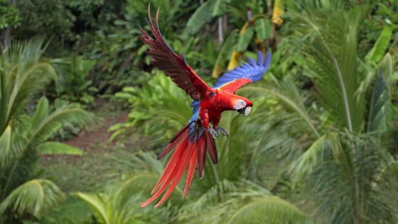 Macaw scarlet macaws birds flight parrots wallpapers