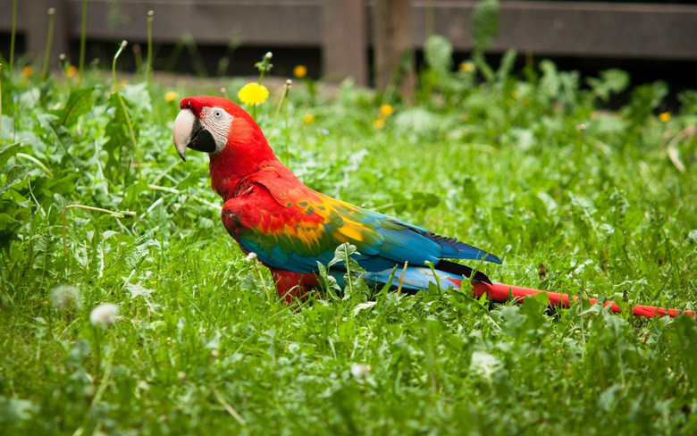 Red Green Macaw Wallpapers Wide Wallpapers Laptop HD