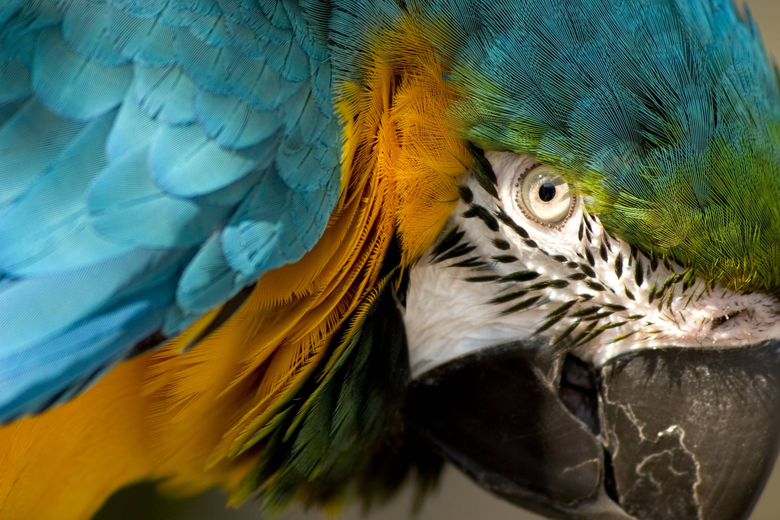 Eye of the Macaw wallpapers