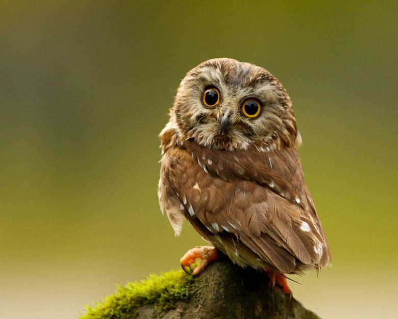 Keywords Owl Owls Bird Birds Hoot Animal Animals Wallpapers