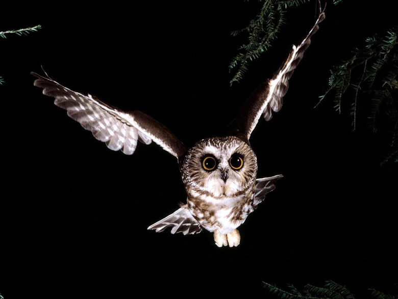 Wallpapers For Owl Backgrounds