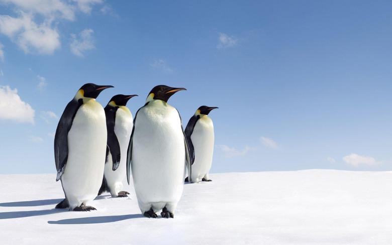 Emperor Penguin HD Wallpapers