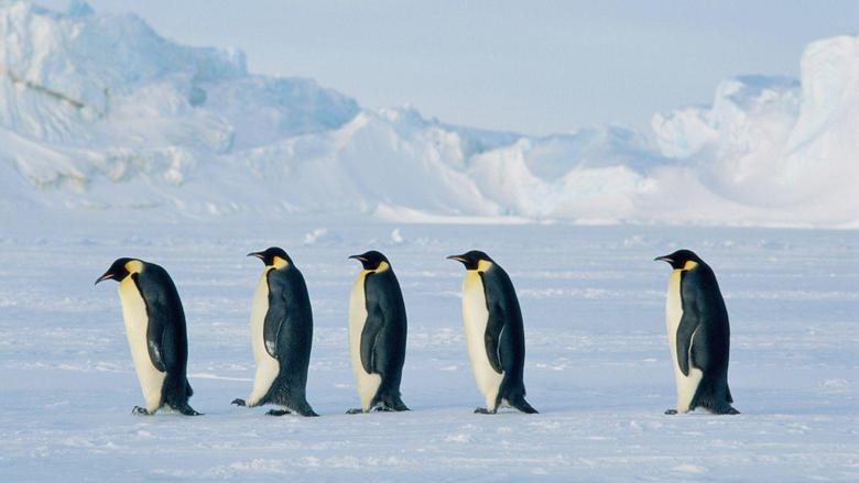 Baby Penguin Wallpapers