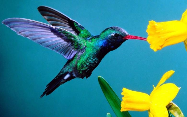 Hummingbirds HD Wallpapers