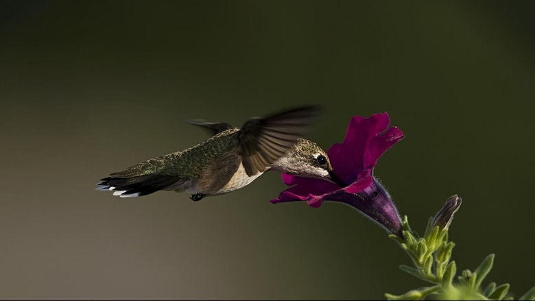 Wallpapers For Hummingbird Wallpapers 1366x768