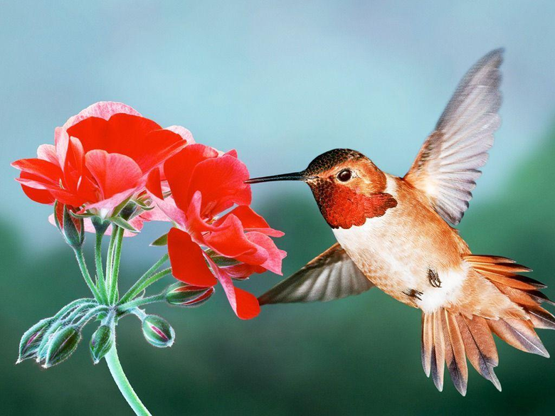 Rufous Hummingbird HD Wallpapers