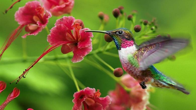 Beautiful hummingbird wallpapers for desktop 14