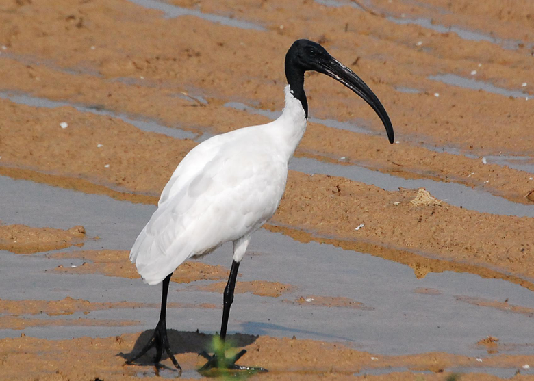 Ibis Wallpapers and Backgrounds Image