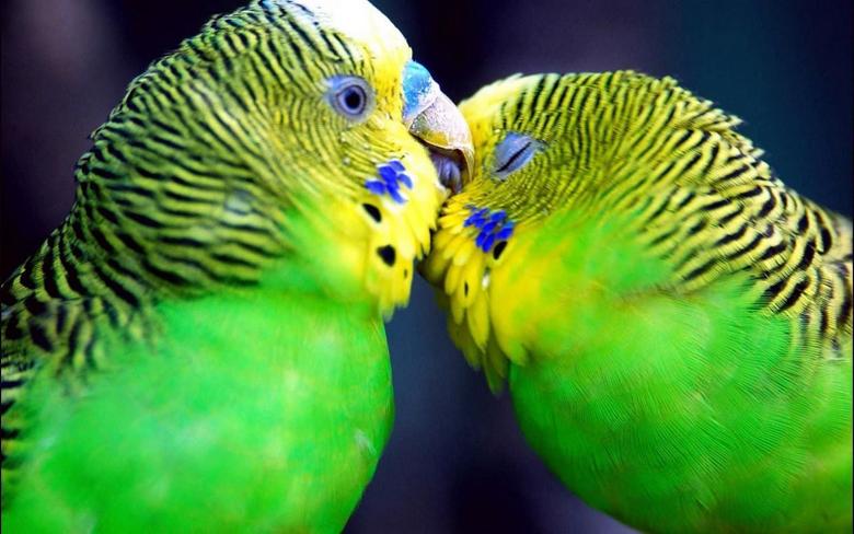 Love birds animation Cute wallpapers Beautiful HD Wallpapers Ba