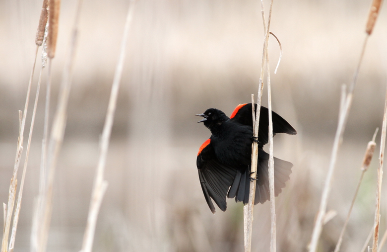 Red and black bird red