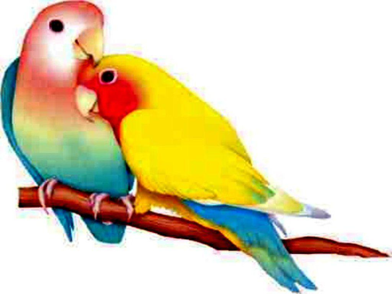 love birds hd wallpapers and desktop backgrounds in 1024×768 px