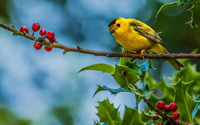 Yellow sparrow wallpapers