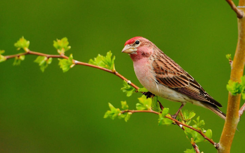 Sparrow Wallpapers 10