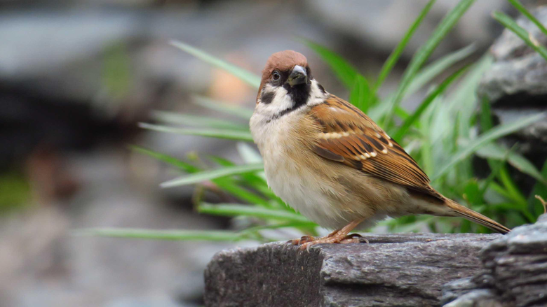 Sparrow Birds HD Wallpapers