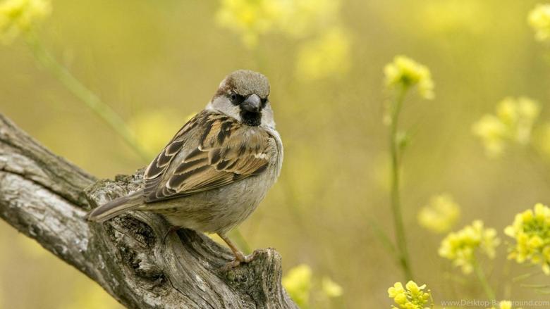 Sparrow Wallpapers HD Desktop Backgrounds