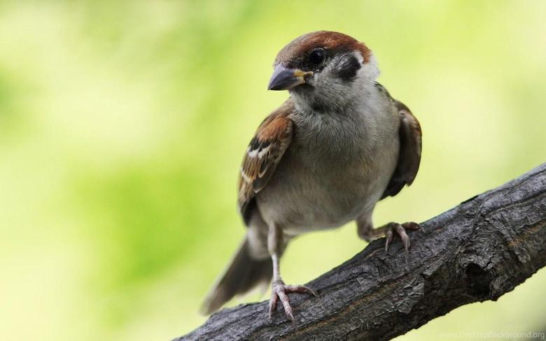 Sparrow Wallpapers Desktop Backgrounds