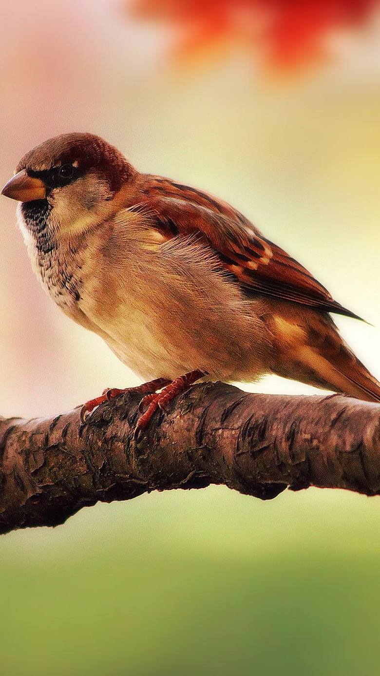 Hd Sparrow Wallpapers Mobile