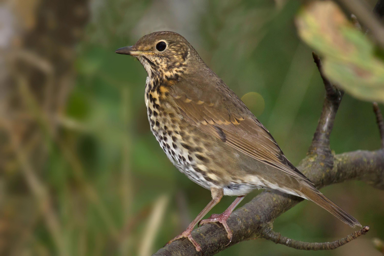 Best 44 Thrush Wallpapers on HipWallpapers