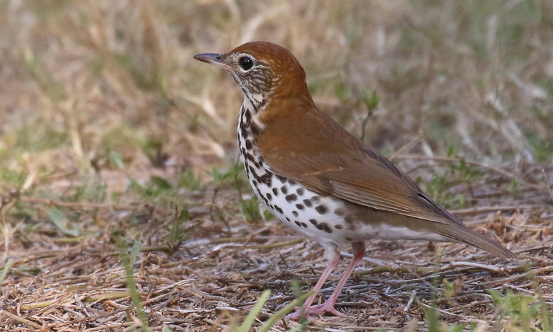 Brown and black bird thrush HD wallpapers