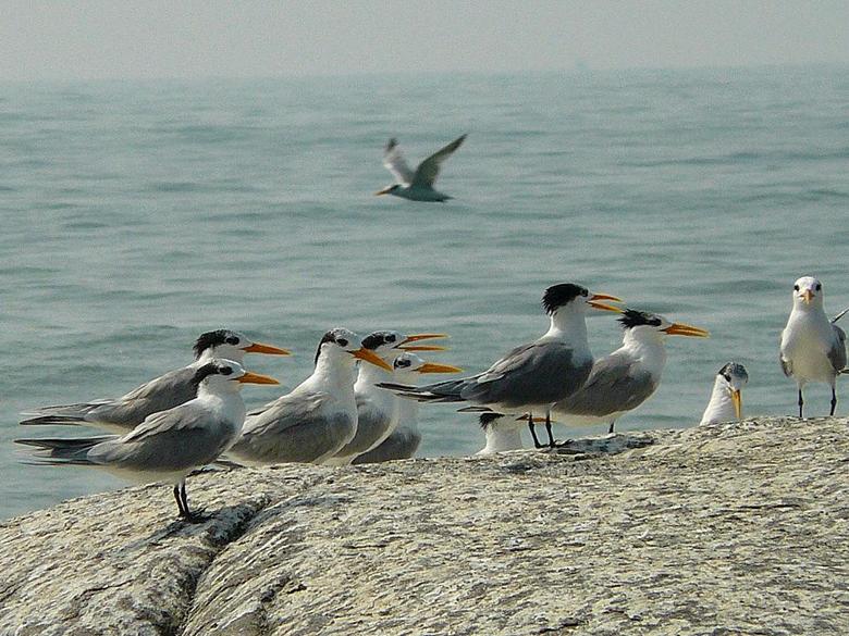 Lesser Crested Terns
