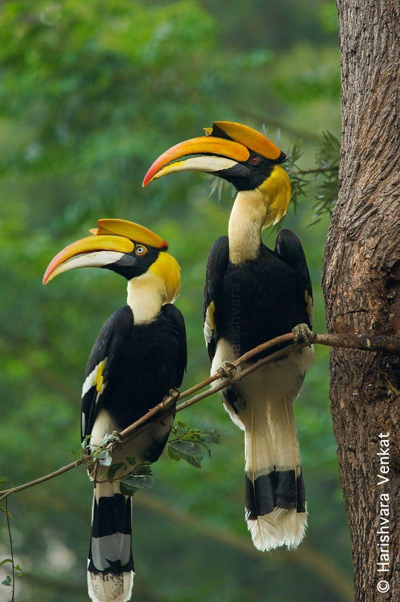 The Great Pied Hornbill