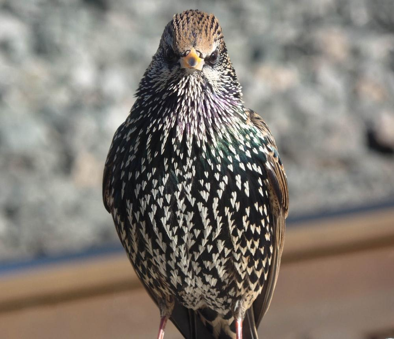 Starling Pictures