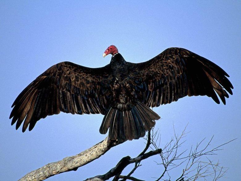 Vulture desktop wallpapers