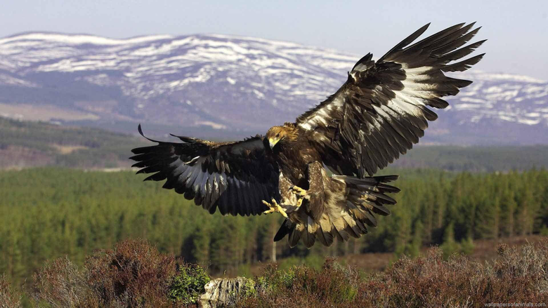 Vulture Flying Wallpapers