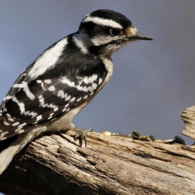 Woodpecker Wallpapers 10